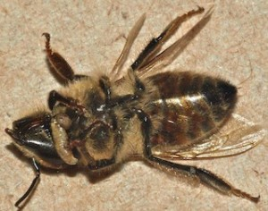 Parasitic fly larva emerging from a dead bee's neck.