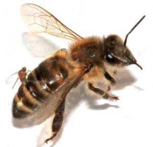 A parasitic fly landing on a honeybee.